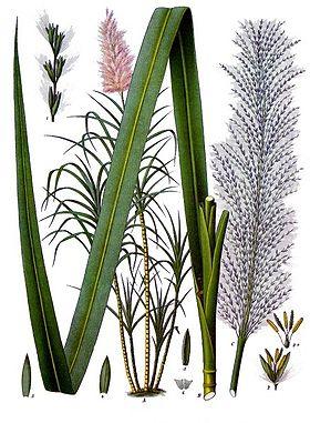 zuckerrohr pflanze